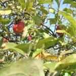 Érik az alma Gáncse Mihály kertjében Kétegyházán (1. kép)