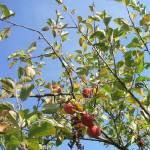 Érik az alma Gáncse Mihály kertjében Kétegyházán (2. kép)