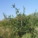 Érik az alma Gáncse Mihály kertjében Kétegyházán (3. kép)
