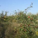Érik az alma Gáncse Mihály kertjében Kétegyházán (4. kép)