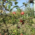 Érik az alma Gáncse Mihály kertjében Kétegyházán (5. kép)