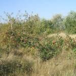 Érik az alma Gáncse Mihály kertjében Kétegyházán (6. kép)