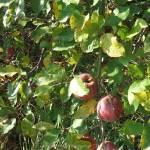 Érik az alma Gáncse Mihály kertjében Kétegyházán (7. kép)