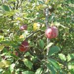 Érik az alma Gáncse Mihály kertjében Kétegyházán (8. kép)