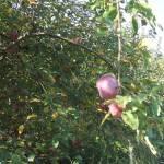 Érik az alma Gáncse Mihály kertjében Kétegyházán (9. kép)