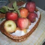 Érik az alma Gáncse Mihály kertjében Kétegyházán (11. kép)