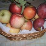 Érik az alma Gáncse Mihály kertjében Kétegyházán (12. kép)