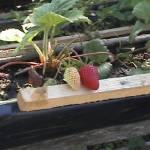 Iskolások látogatása Major Pál csorvási kertjében (2. kép)