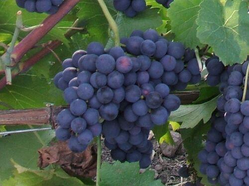 Szőlő Gyümölcsök: Nyárutó Hónap