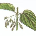kamillavirág